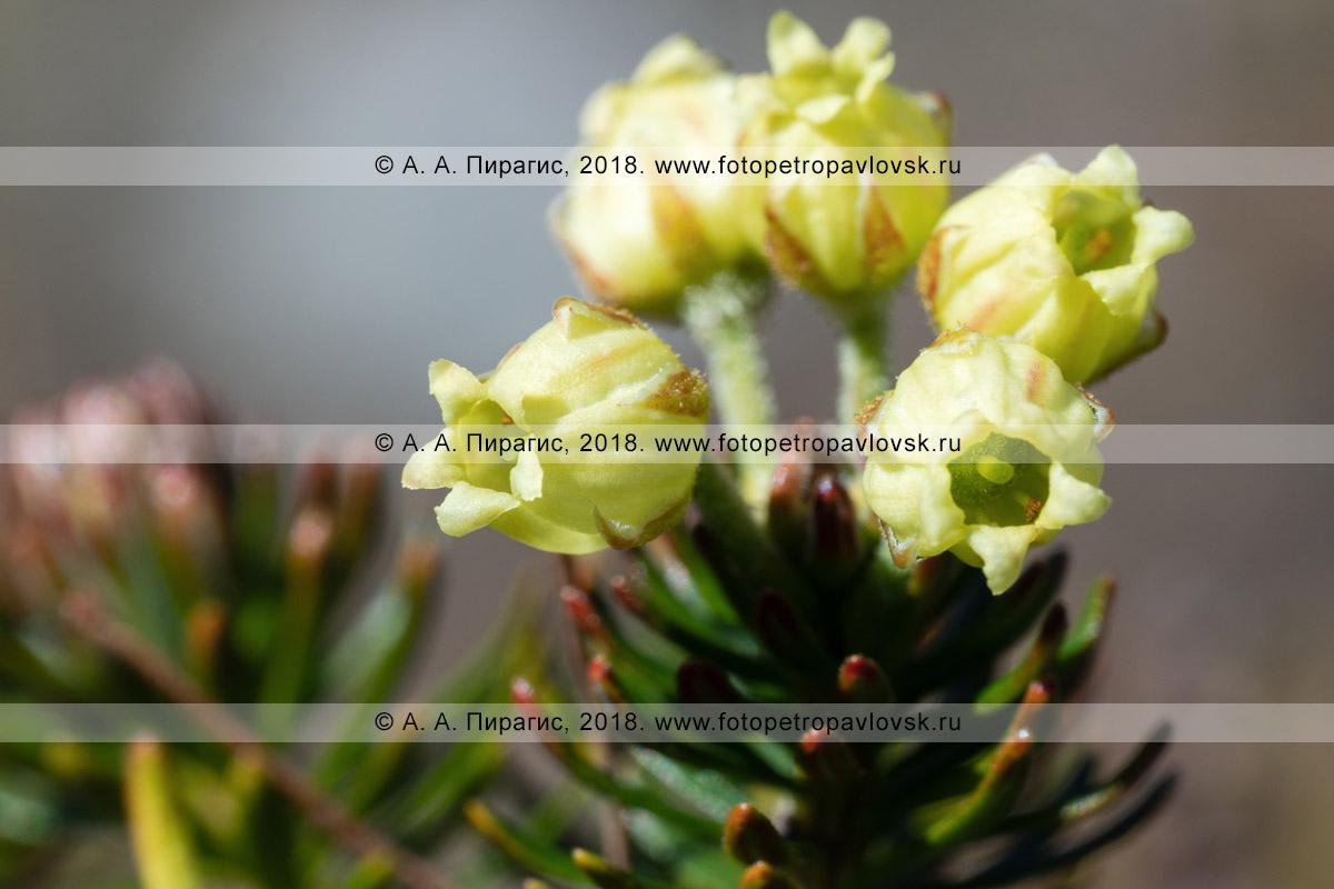 Макрофотография: желтые цветки можжевельника сибирского