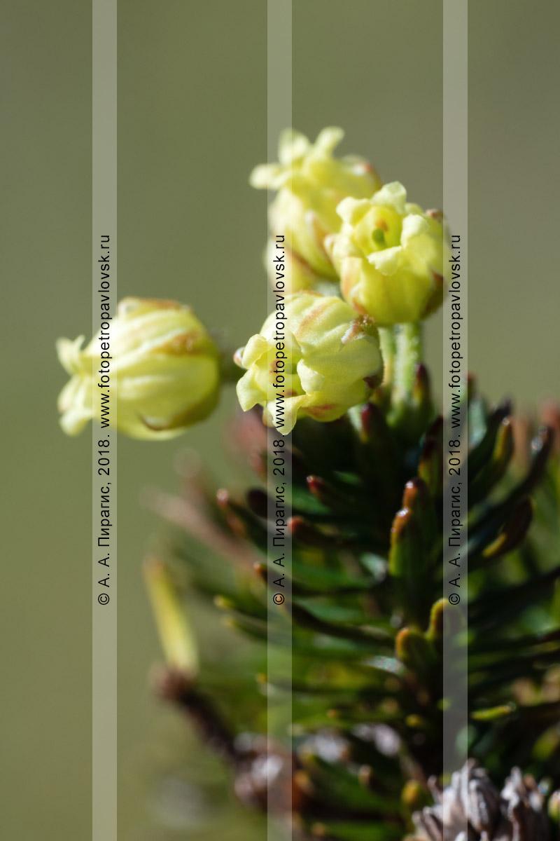 Макрофотография: цветущий можжевельник сибирский крупным планом