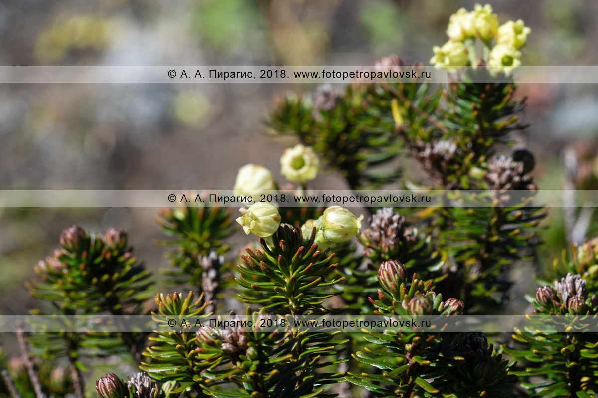 Фотография: дикий можжевельник сибирский, цветущий куст в естественной среде