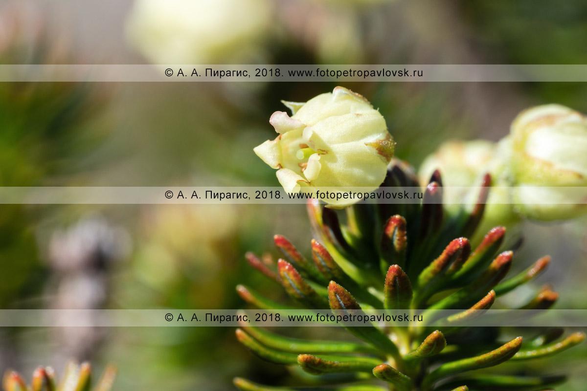 Макрофотография: желтый цветок дикого можжевельника сибирского крупным планом