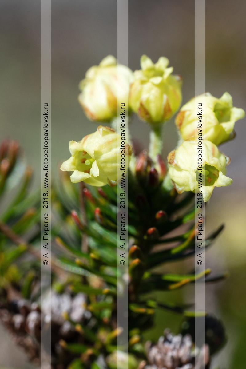 Макрофотография: желтые цветы дикого можжевельника сибирского крупным планом