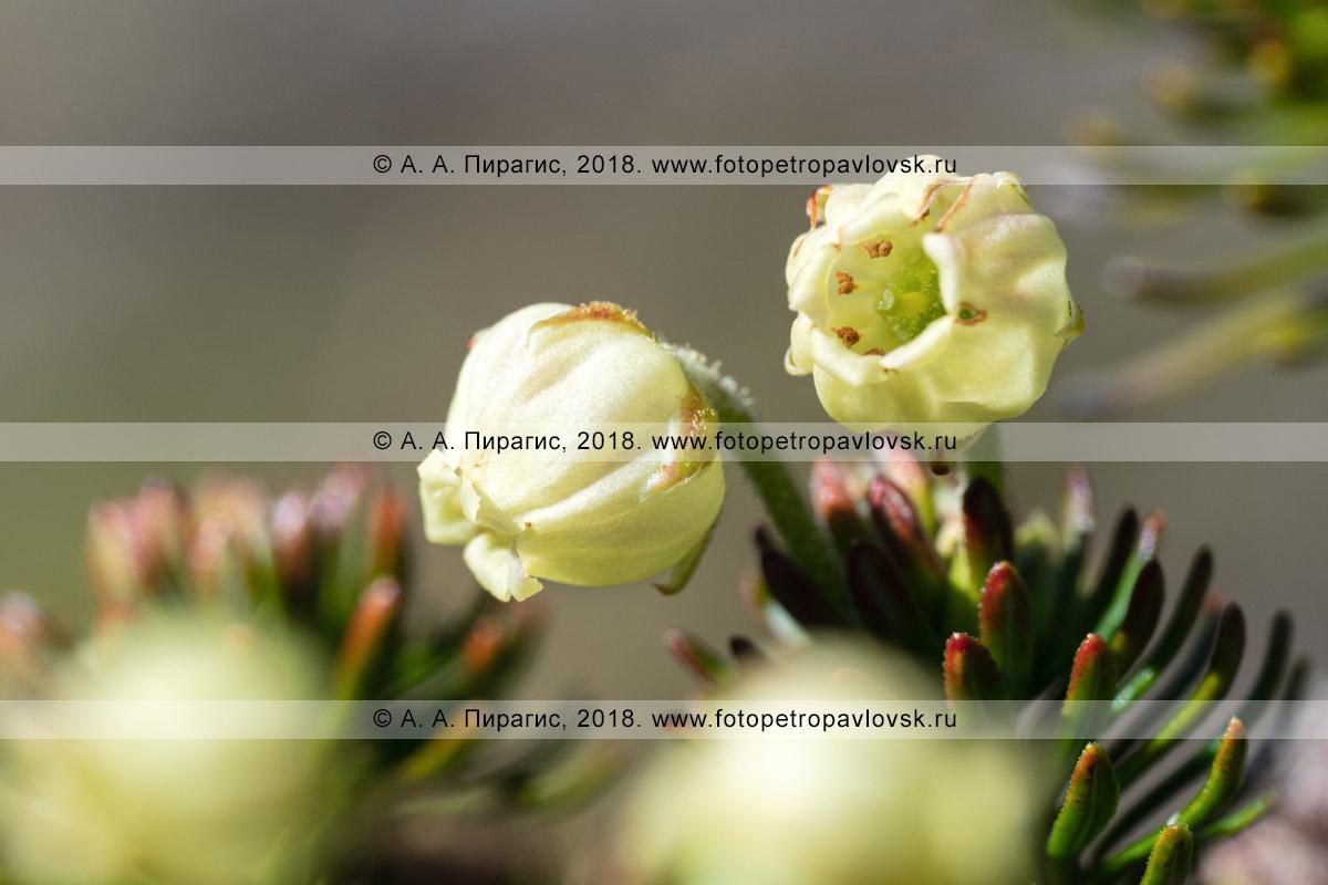 Макрофотография: можжевельник сибирский, желтые цветки дикого хвойного кустарника