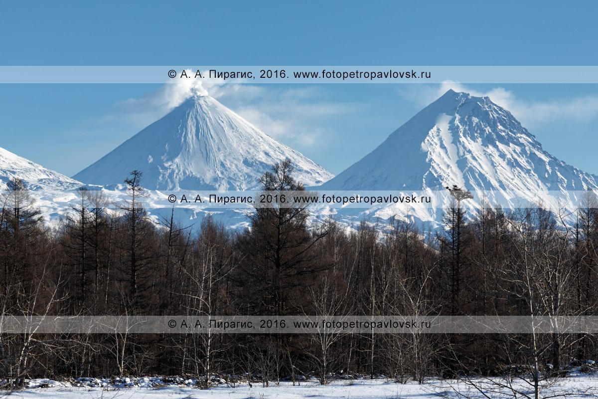 Фотография: красивый камчатский пейзаж, вид на зимний лес, действующий Ключевской вулкан (Klyuchevskoy Volcano) и вулкан Камень (Kamen Volcano) в Ключевской группе вулканов на полуострове Камчатка
