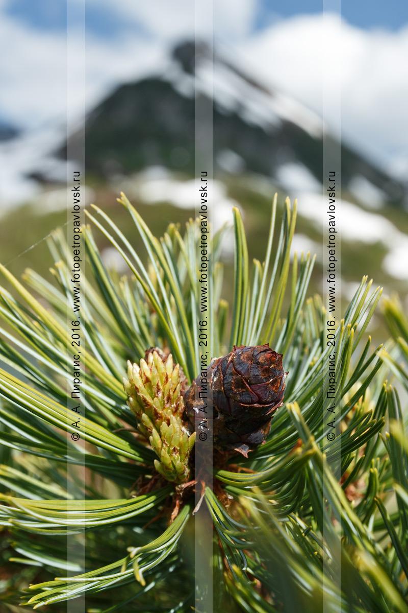 Фотография: флора полуострова Камчатка — кедрач, или кедровый стланик, или сосна стланиковая, — Pinus pumila (Pall.) Regel (семейство Сосновые — Pinaceae)