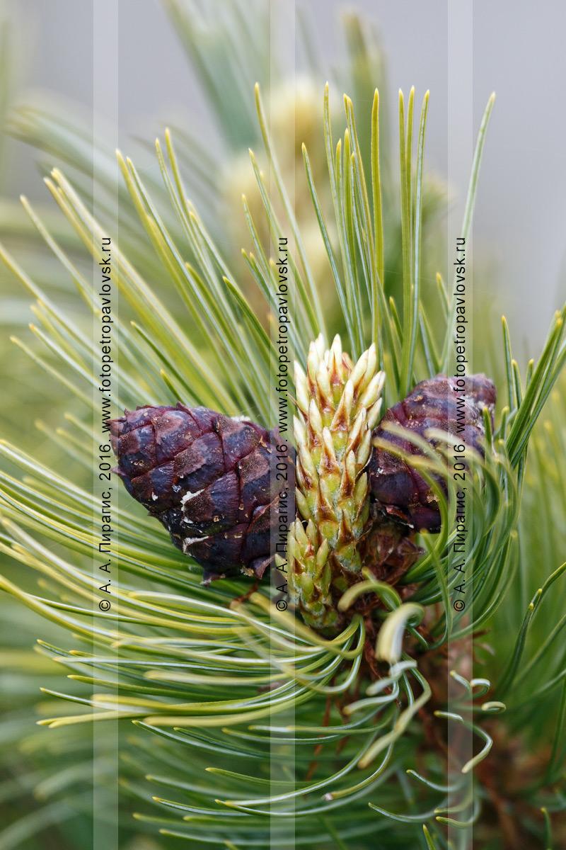 Фотография: флора Камчатского края — сосна стланиковая, или кедровый стланик, или кедрач, — Pinus pumila (Pall.) Regel (семейство Сосновые — Pinaceae)