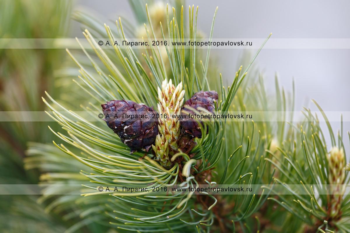 Фотография: дикая природа Камчатки — кедровый стланик, или кедрач, или сосна стланиковая, — Pinus pumila (Pall.) Regel (семейство Сосновые — Pinaceae)