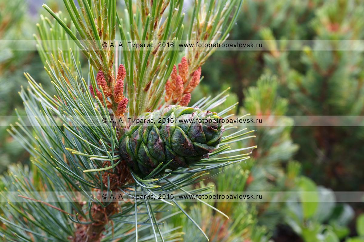 Фотография: флора Камчатского края — кедровый стланик, или сосна стланиковая, или кедрач, — Pinus pumila (Pall.) Regel (семейство Сосновые — Pinaceae)