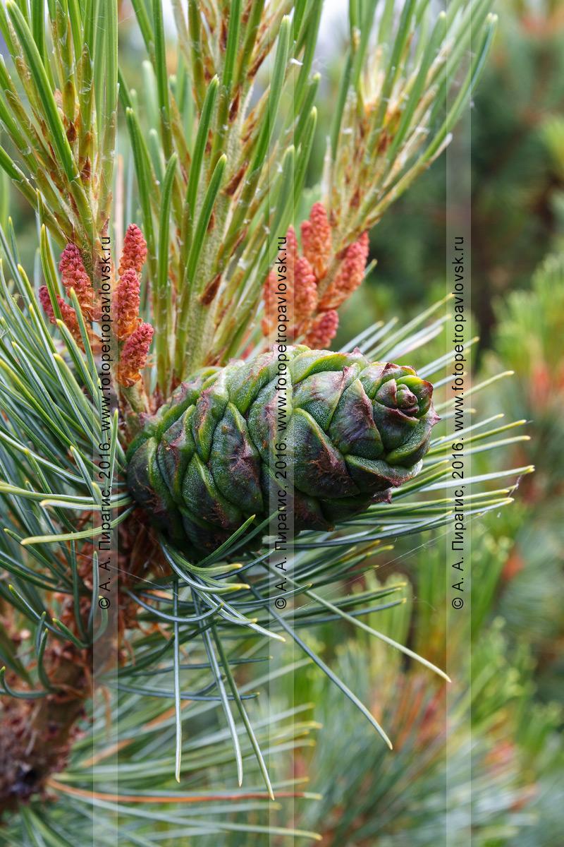 Фотография: дикая природа Камчатки — сосна стланиковая, или кедровый стланик, или кедрач, — Pinus pumila (Pall.) Regel (семейство Сосновые — Pinaceae)