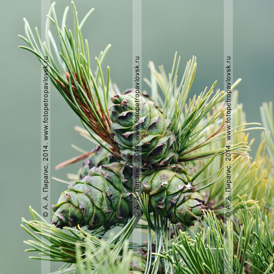 Фотография: кедровый стланик, или сосна стланиковая, или кедрач, — Pinus pumila (Pall.) Regel (семейство Сосновые — Pinaceae). Камчатка