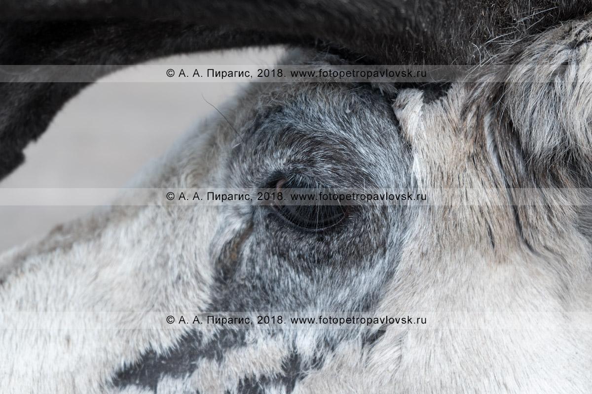 Фотография: портрет камчатского северного оленя крупным планом