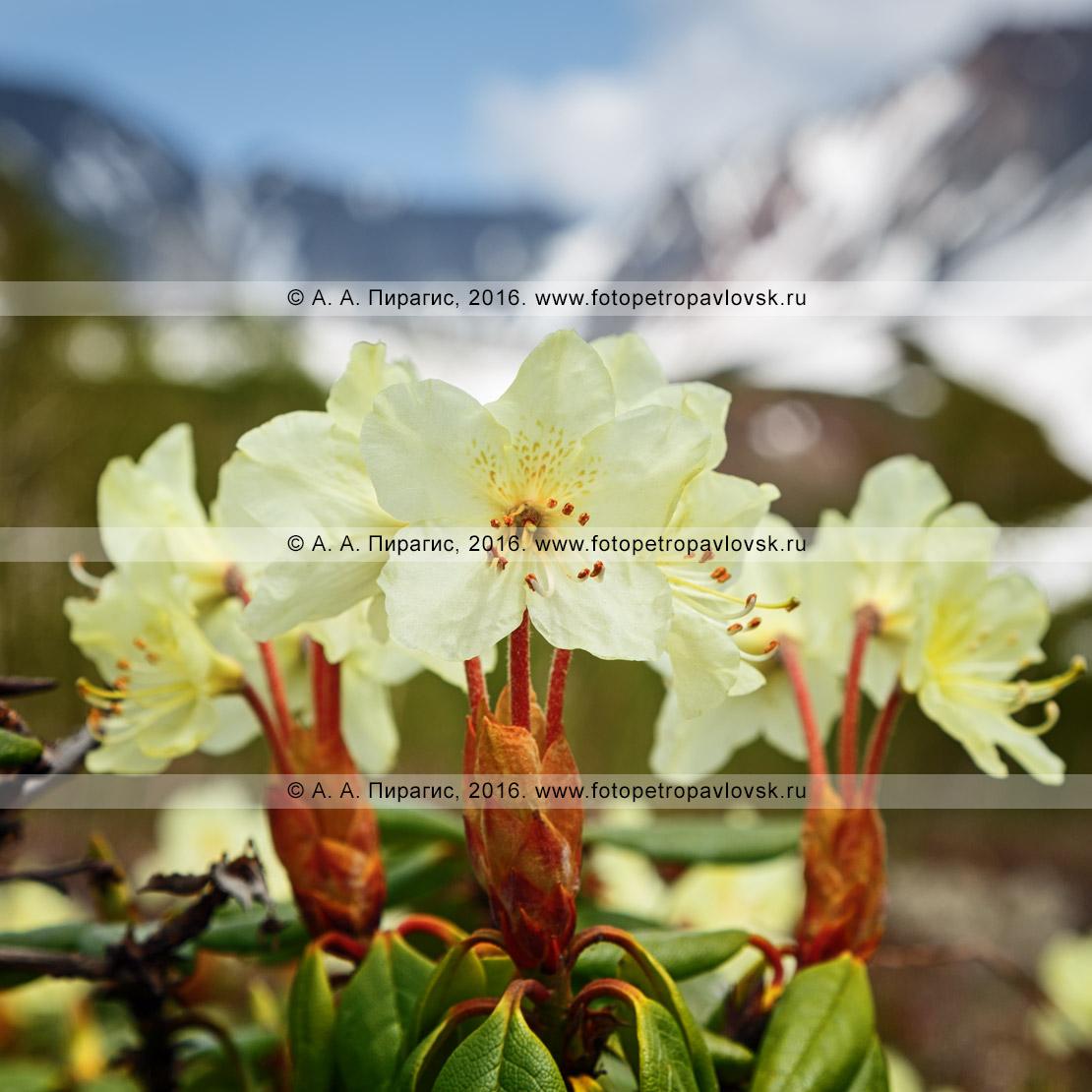 Фотография: флора полуострова Камчатка — цветет рододендрон золотистый — Rhododendron aureum Georgi (семейство Вересковые — Ericaceae)
