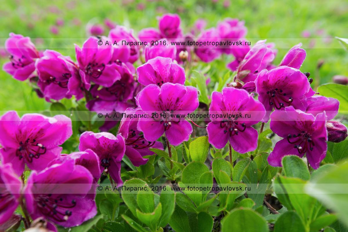 Фотография: флора полуострова Камчатка — рододендрон камчатский — Rhododendron camtschaticum Pall. (семейство Вересковые — Ericaceae)