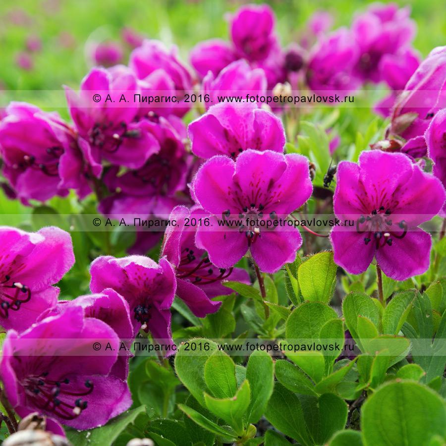 Фотография: цветение рододендрона камчатского — Rhododendron camtschaticum Pall. (семейство Вересковые — Ericaceae)