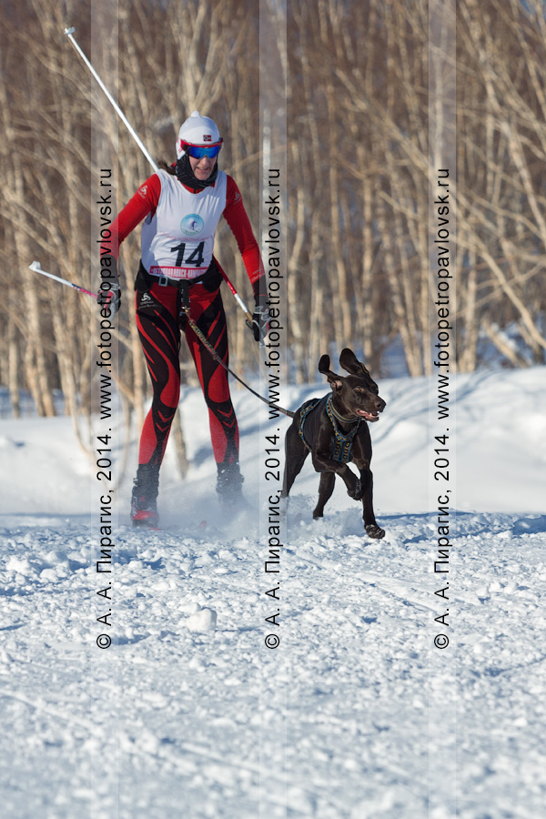 Фотография: камчатская спортсменка — участница соревнований по зимним видам ездового спорта в дисциплине скиджоринг. Чемпионат и первенство Петропавловска-Камчатского по зимним видам ездового спорта