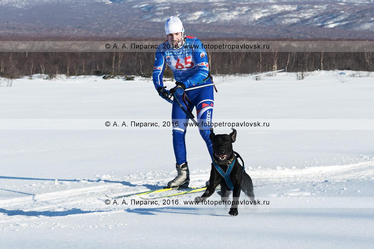 Фотография: скиджоринг с собакой на Камчатке — на дистанции бегут лыжник-гонщик Иван Климов и ездовая собака метис Буч