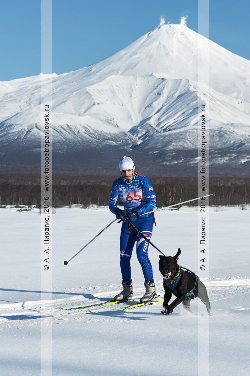 Фотография: скиджоринг с собакой — камчатский лыжник Климов Иван и собака метис Буч бегут по трассе на фоне действующего Авачинского вулкана на Камчатке