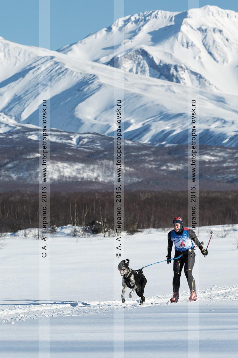 Фотография: скиджоринг с собакой на фоне вулканов в Камчатском крае, на дистанции — камчатская лыжница Наталья Орехова и ездовая собака по кличке Гейзер