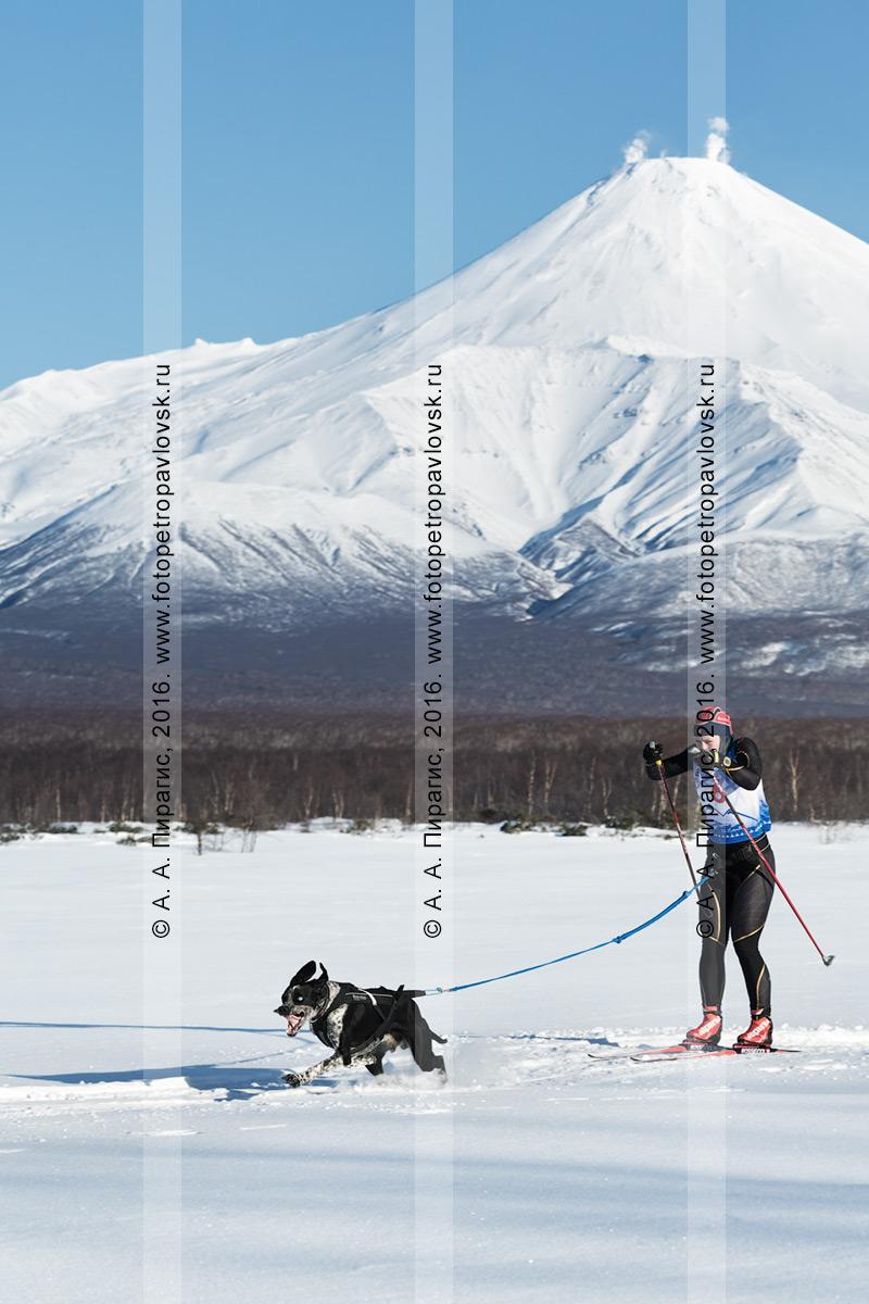 Фотография: скиджоринг с собакой — камчатская лыжница-гонщица Орехова Наталья и собака Гейзер бегут по трассе на фоне активного Авачинского вулкана на полуострове Камчатка