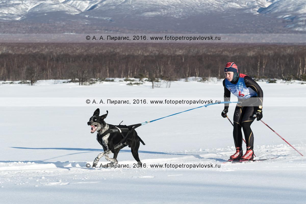 Фотография: скиджоринг с собакой на полуострове Камчатка — на дистанции бегут камчатская лыжница-гонщица Наталья Орехова и собака по кличке Гейзер.