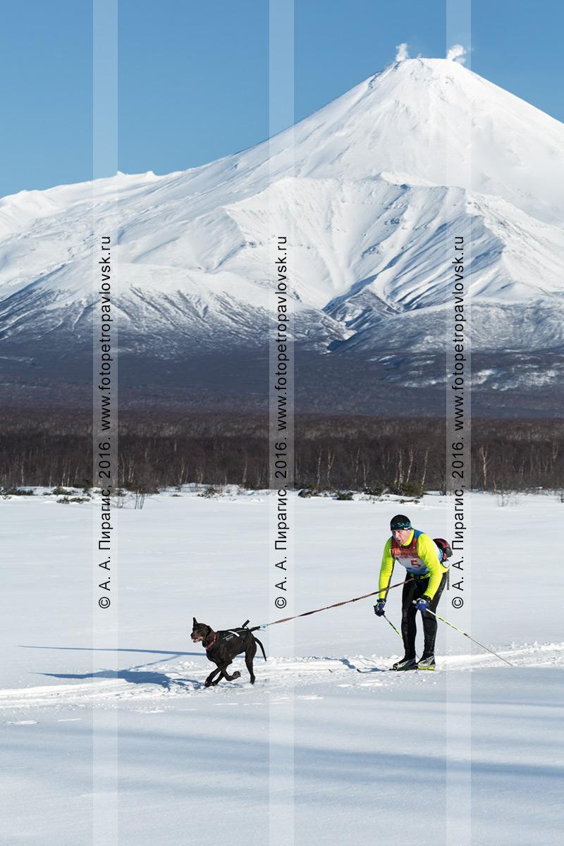Фотография: скиджоринг с собакой — камчатский лыжник-гонщик Андрей Хорошилов и ездовая собака норвежский метис по кличке Гера бегут по трассе на фоне Авачинского вулкана на полуострове Камчатка