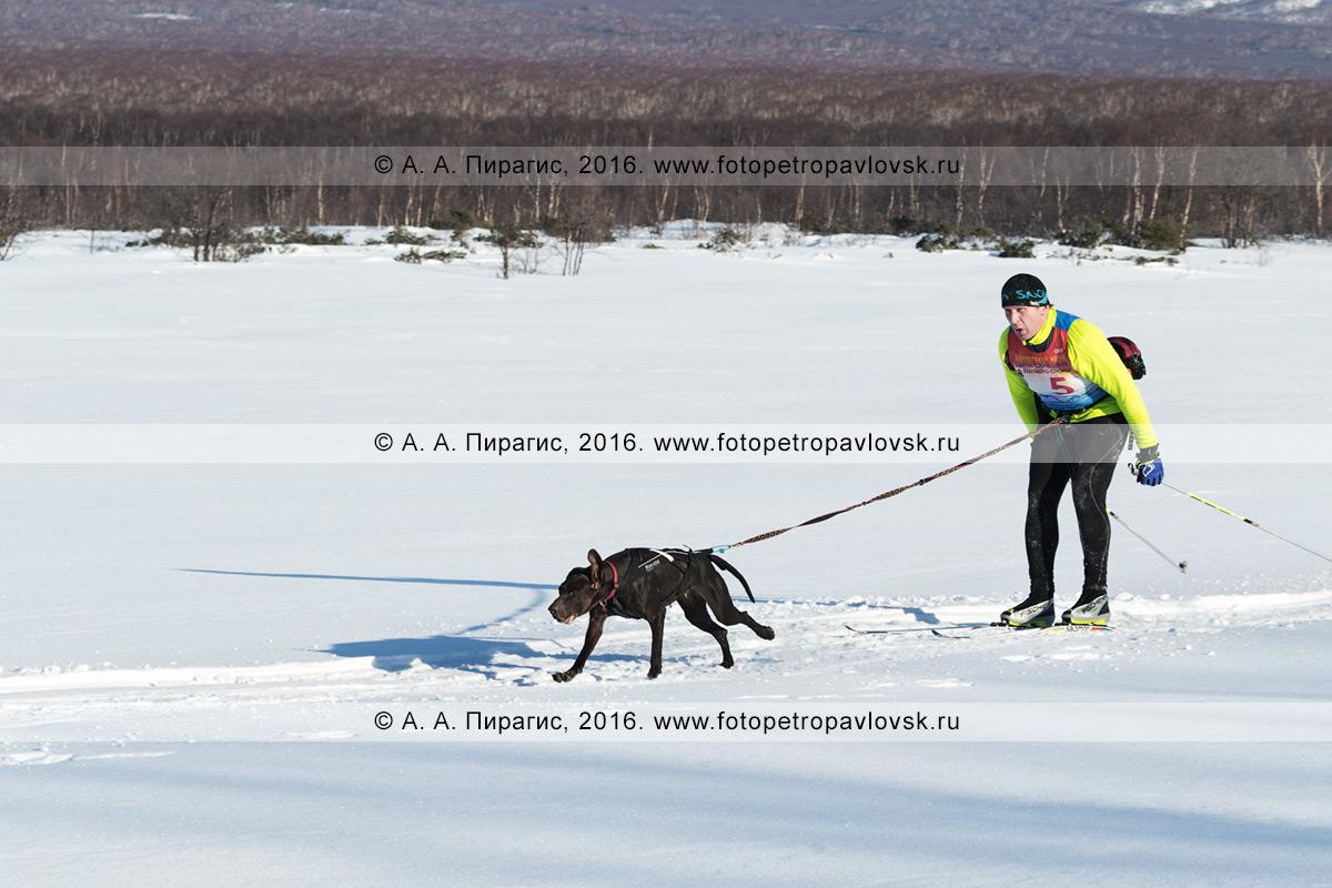 Фотография: скиджоринг с собакой на Камчатке, по трассе бегут камчатский лыжник Хорошилов Андрей и ездовая собака норвежский метис по кличке Гера
