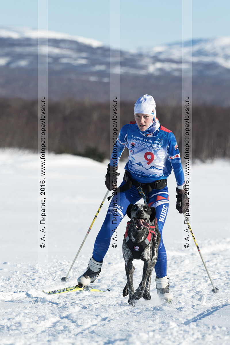 Фотография: скиджоринг с собакой на полуострове Камчатка, по лыжной трассе бегут камчатская лыжница Светлана Саратцева и ездовая собака по кличке Рокси. Спортивное мероприятие: кубок Камчатского края по ездовому спорту среди женщин