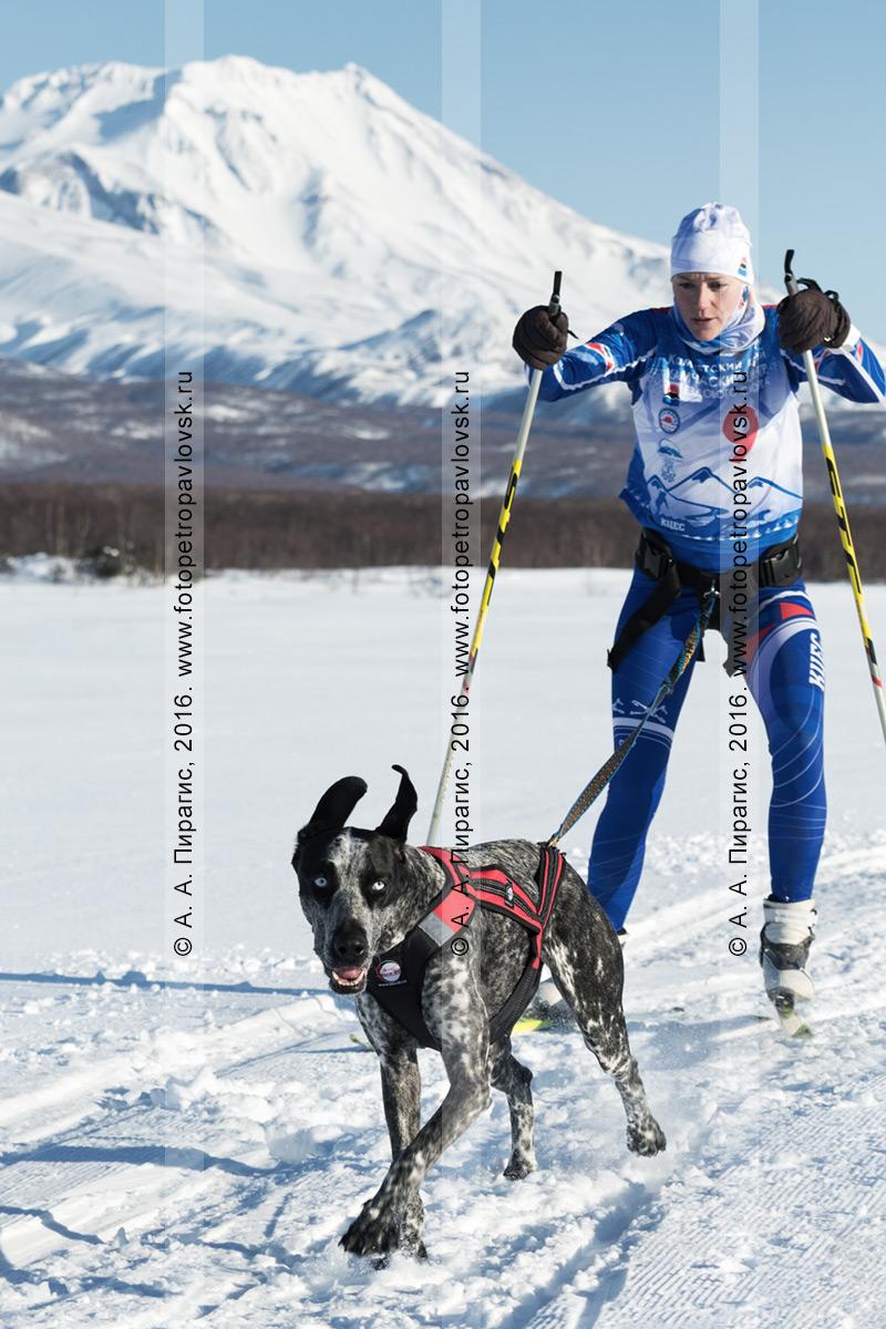 Фотография: скиджоринг с собакой — камчатская лыжница-гонщица Саратцева Светлана и ездовая собака по кличке Рокси бегут по лыжной трассе на фоне Козельского вулкана на полуострове Камчатка