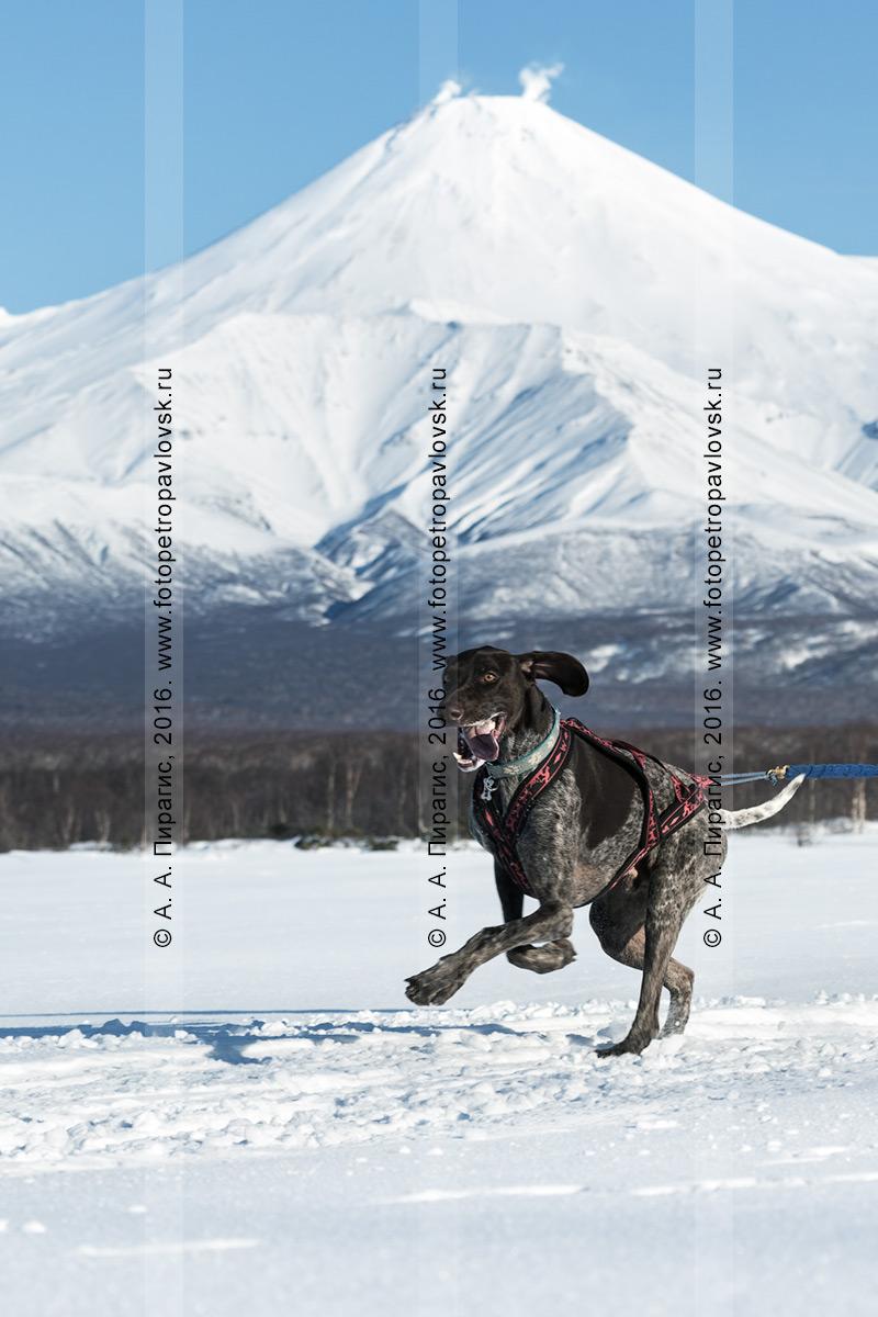 Фотография: скиджоринг с собакой на Камчатке, ездовая собака бежит по трассе на фоне вулкана Авачинская сопка