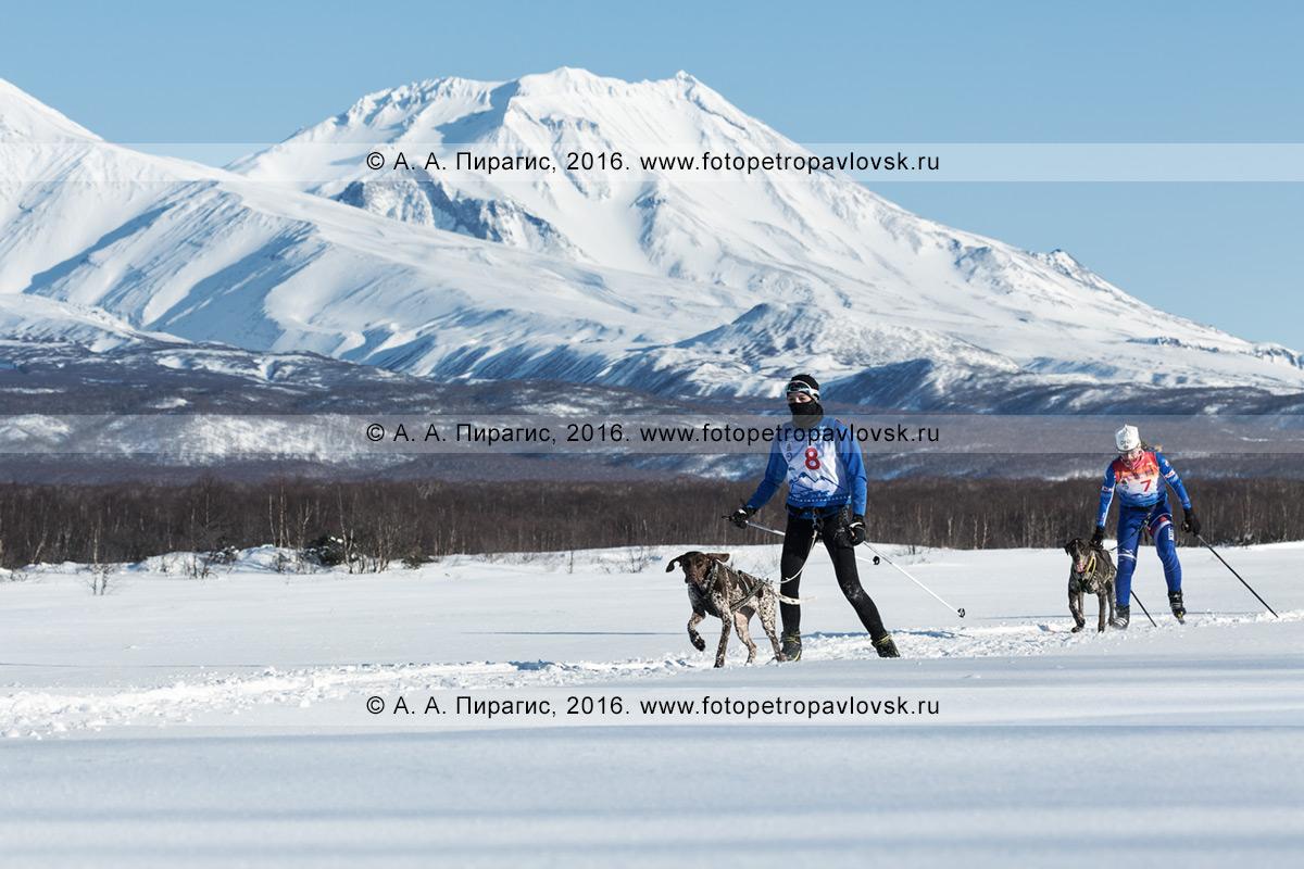 Фотография: скиджоринг на Камчатке — камчатские лыжники-гонщики с собаками бегут по лыжной трассе на фоне живописного Козельского вулкана в безоблачную солнечную погоду