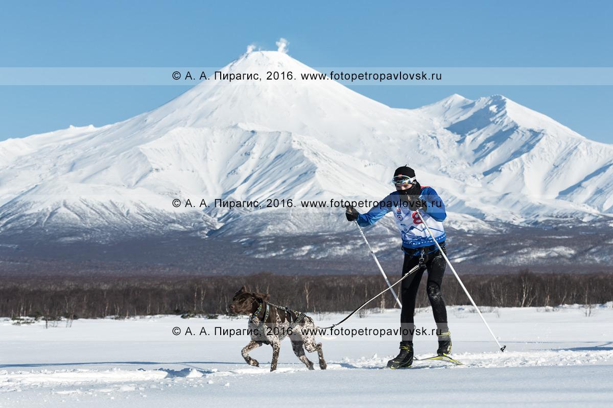 Фотография: скиджоринг с собакой на фоне действующего вулкана Авачинская сопка в Камчатском крае
