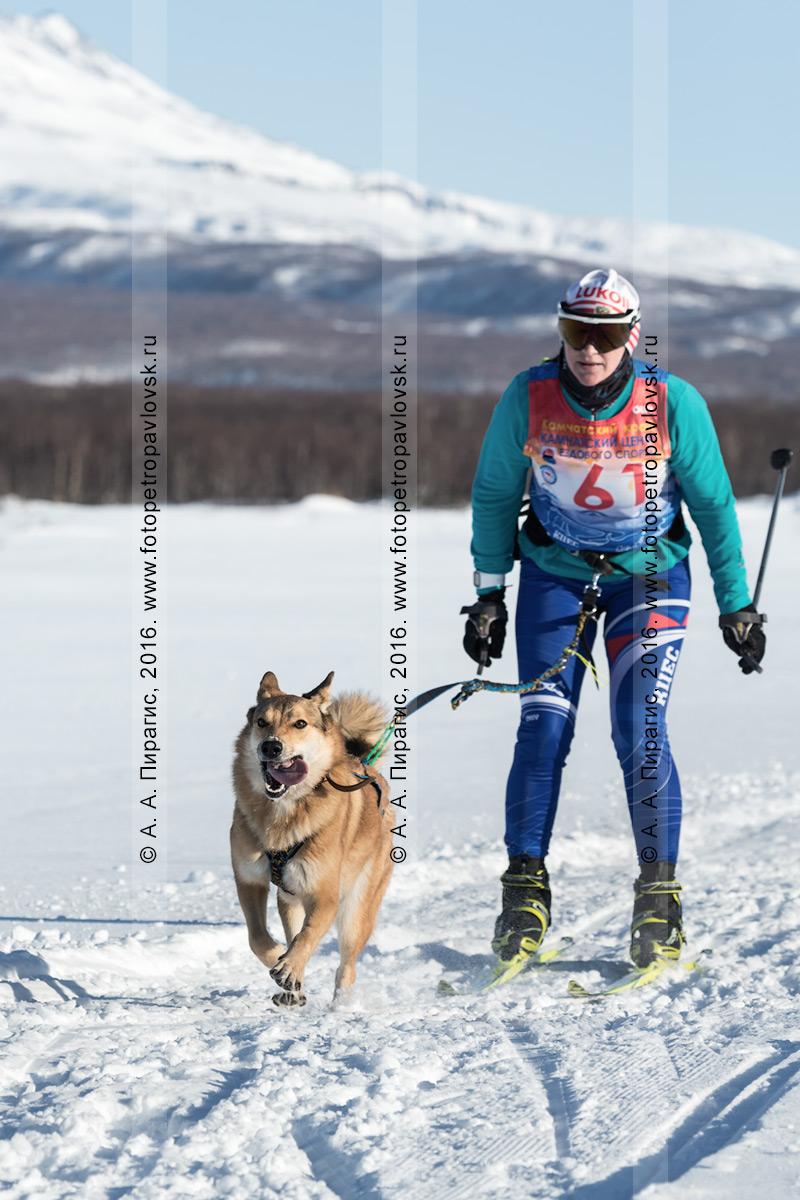 Фотография: скиджоринг с собакой — камчатская лыжница-гонщица Бахур Анна и ездовая собака лайка по кличке Альма бегут по лыжной трассе на фоне камчатских сопок в солнечную погоду