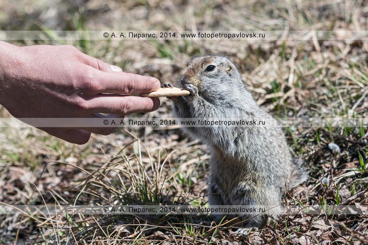 Фотография: человек кормит евражку, или берингийского суслика (Spermophilus parryi). Камчатка