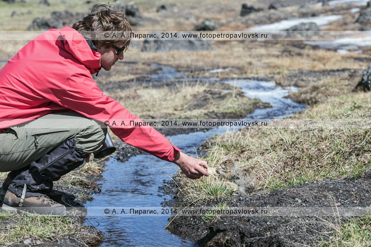 Фотография: турист кормит берингийского суслика, или евражку (Spermophilus parryi). Камчатка