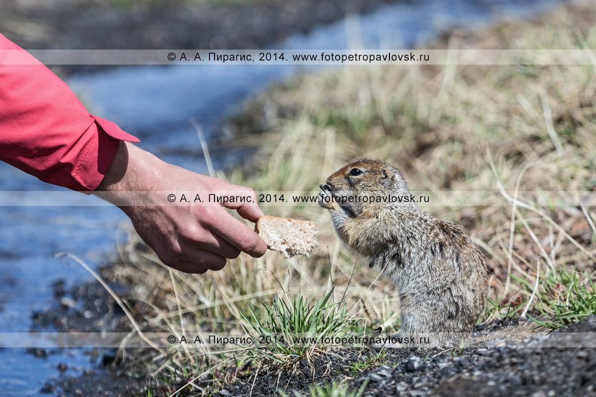 Фотография: турист протягивает хлеб берингийскому суслику, или евражке (Spermophilus parryi). Камчатка