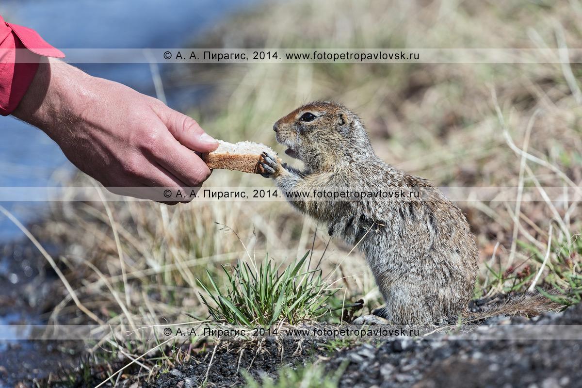 Фотография: берингийский суслик, или евражка (Spermophilus parryi), берет хлеб из рук туриста. Полуостров Камчатка