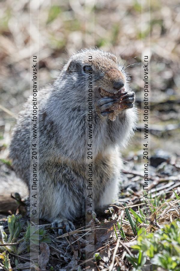 Фотография: берингийский суслик, или евражка (Spermophilus parryi), ест хлеб, стоя на задних лапах. Камчатский край