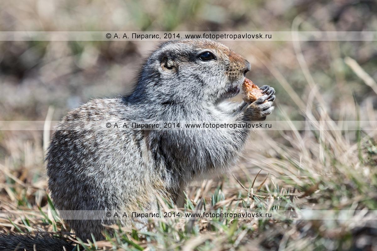 Фотография: берингийский суслик, или евражка (Spermophilus parryi), кушает корочку хлеба. Полуостров Камчатка