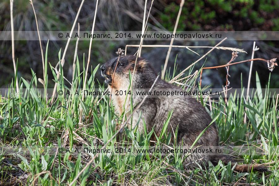 Фотография: черношапочный сурок, или тарбаган, — млекопитающее рода сурков. Полуостров Камчатка