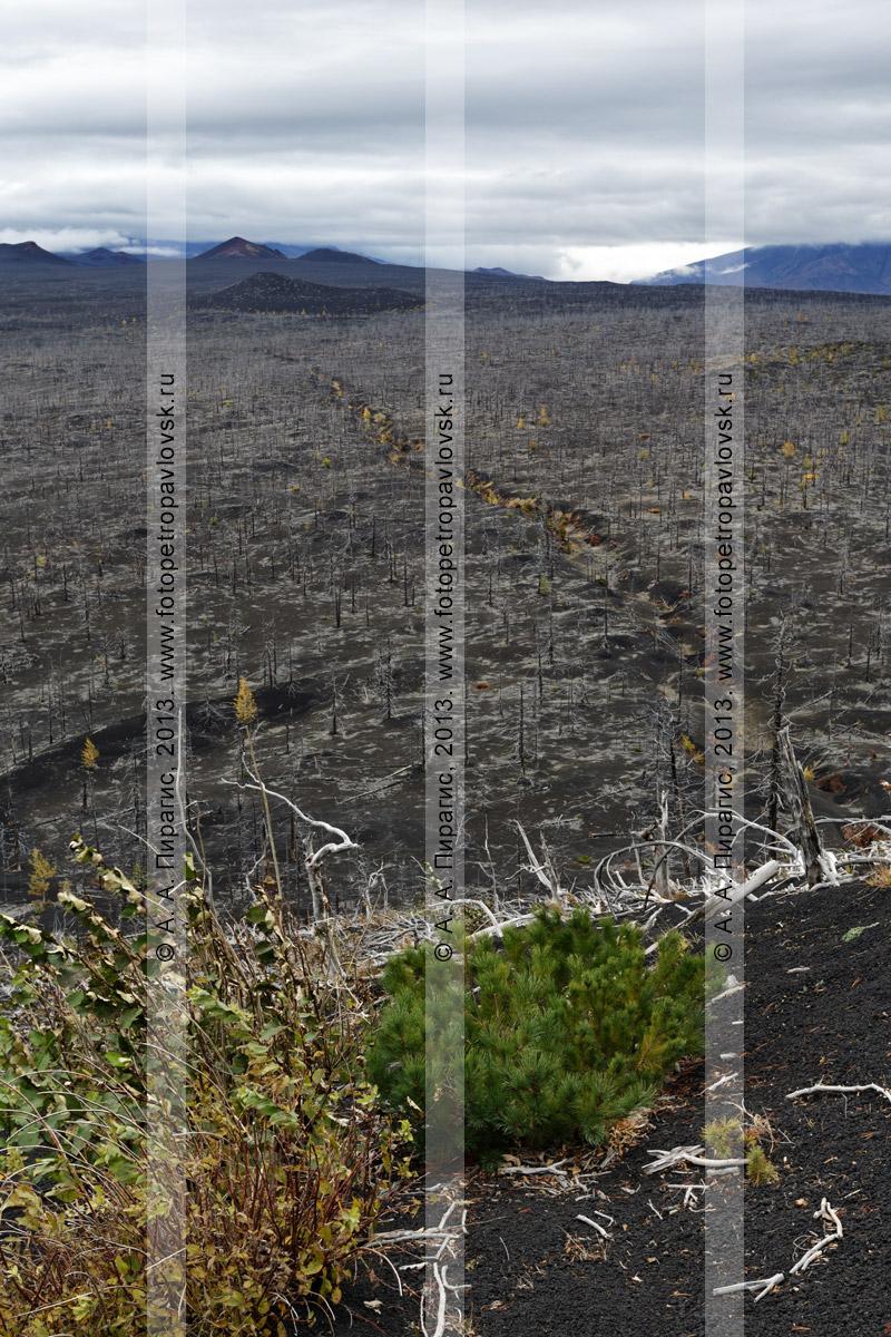 Фотография: дикая природа Камчатки, живописный вулканический ландшафт, осенний вид на Мертвый лиственничный лес на Толбачинском долу — последствие Большого трещинного Толбачинского извержения (БТТИ)