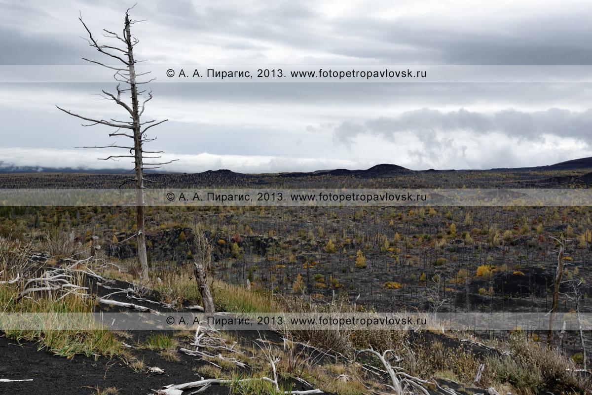 Фотография: осенний живописный вулканический пейзаж, дикая природа Камчатки, вид на лиственничный Мертвый лес на Толбачинском долу — последствие Большого трещинного Толбачинского извержения (БТТИ)