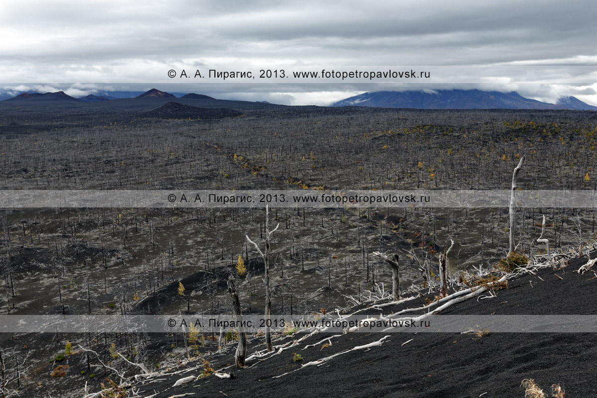 Фотография: вид сверху на красивый вулканический пейзаж, лиственничный Мертвый лес на Толбачинском долу — последствие Большого трещинного Толбачинского извержения (БТТИ) на полуострове Камчатка