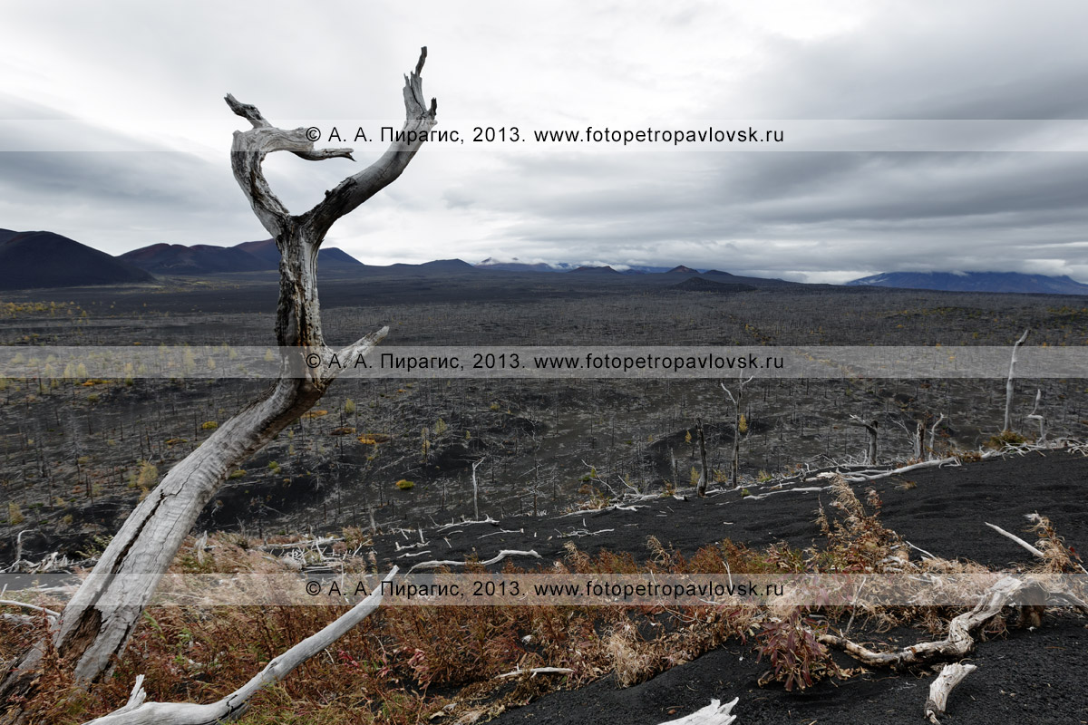 Фотография: вид сверху на камчатский лиственничный Мертвый лес на Толбачинском долу — последствие Большого трещинного Толбачинского извержения (БТТИ)