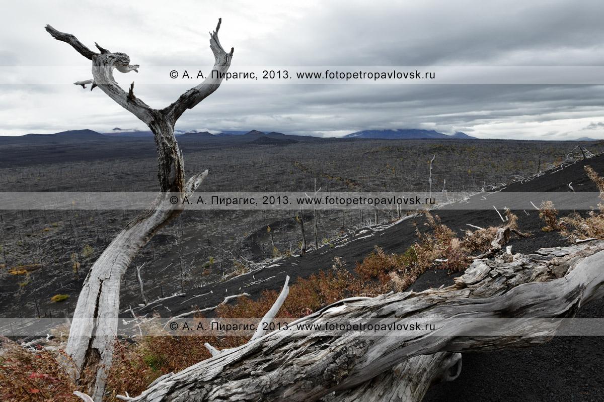Фотография: живописный осенний вулканический пейзаж, драматический вид на камчатский Мертвый лиственничный лес на Толбачинском долу — последствие Большого трещинного Толбачинского извержения