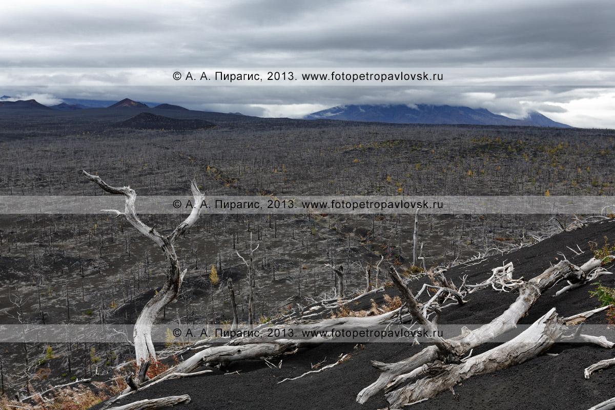 Фотография: дикая природа, осенний драматический вид на камчатский лиственничный Мертвый лес на Толбачинском долу — последствие Большого трещинного Толбачинского извержения (БТТИ)