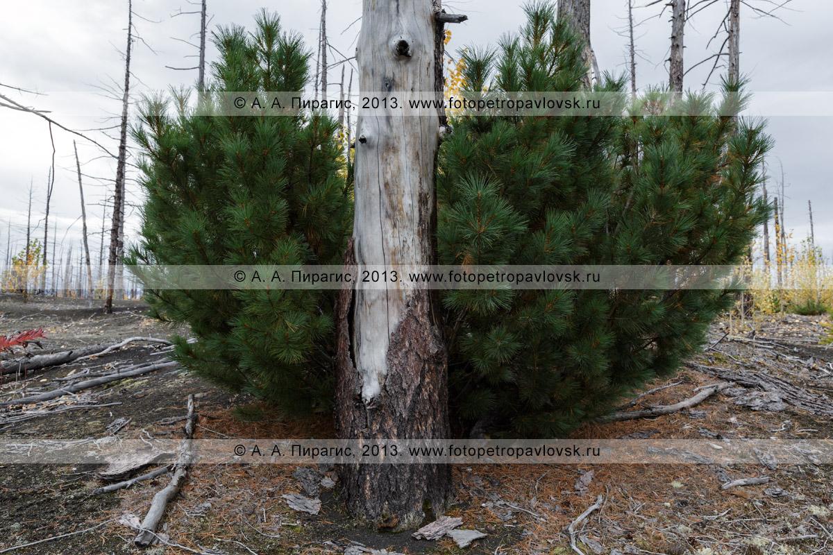 Фотография: дикая природа Камчатки — вечнозеленый кедровый стланик и обожженная лиственница в Мертвом лесу на Толбачинском долу на полуострове Камчатка