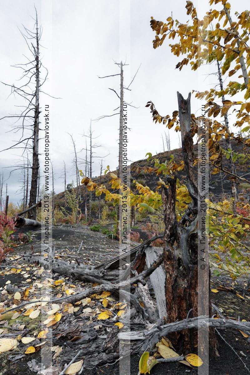Фотография: осенняя дикая природа полуострова Камчатки, драматический вид на Мертвый лиственничный лес на Толбачинском долу — последствие Большого трещинного Толбачинского извержения (БТТИ)