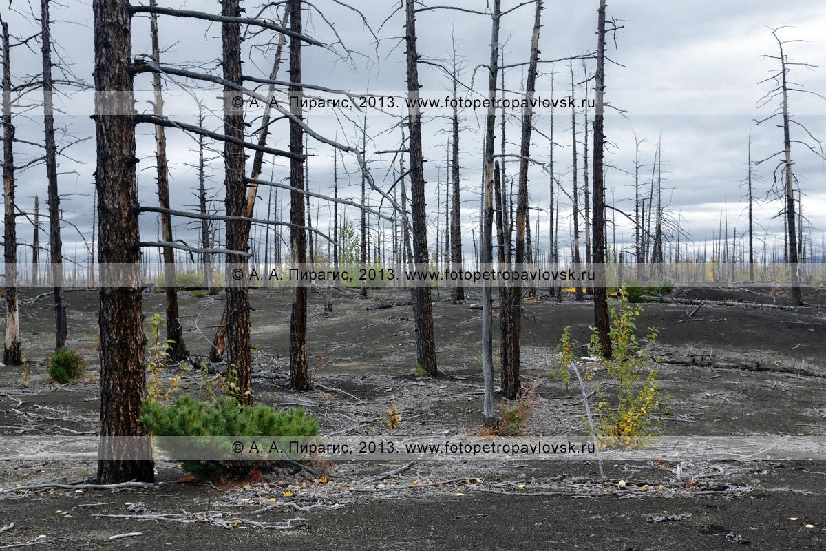 Фотография: осенний живописный вулканический ландшафт, дикая природа Камчатки, драматический вид на лиственничный Мертвый лес на Толбачинском долу — последствие Большого трещинного Толбачинского извержения (БТТИ)