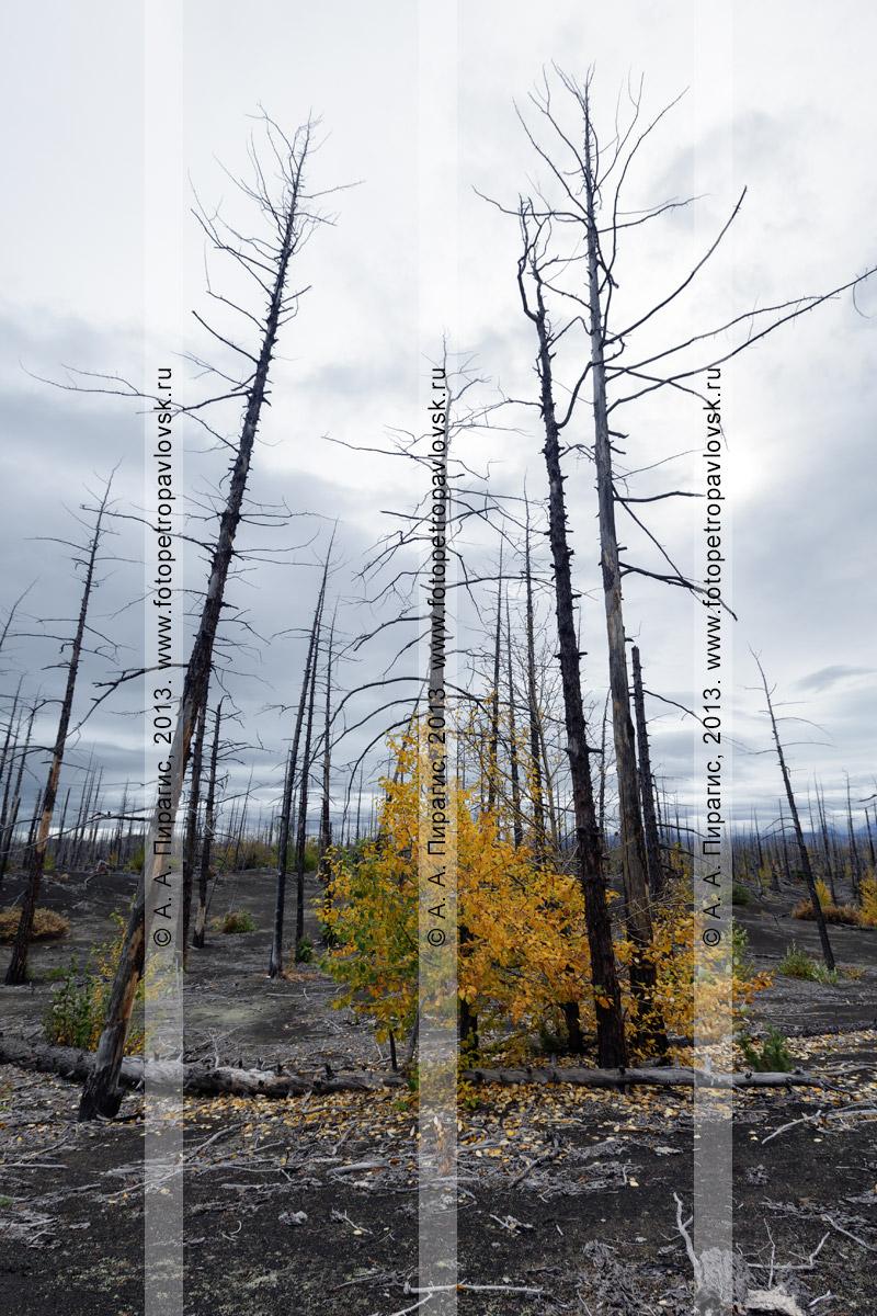 Фотография: осенний драматичный вулканический ландшафт полуострова Камчатка, вид на Мертвый лиственничный лес на Толбачинском долу — последствие Большого трещинного Толбачинского извержения (БТТИ)