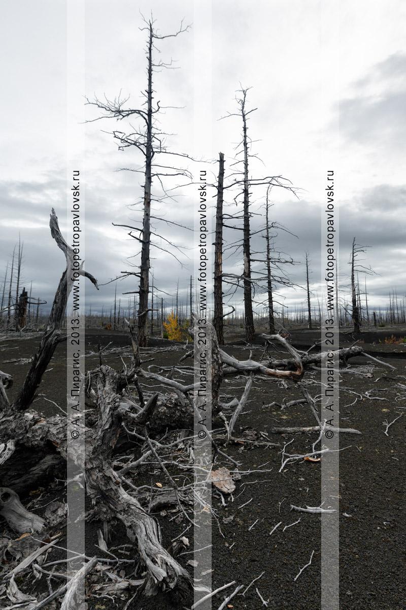 Фотография: драматический вулканический ландшафт, дикая природа Камчатки, осенний живописный вид на Мертвый лиственничный лес на Толбачинском долу — последствие Большого трещинного Толбачинского извержения (БТТИ)