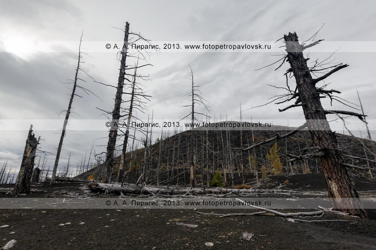 Фотография: дикая природа полуострова Камчатка осенью, драматичный вулканический пейзаж, вид на лиственничный Мертвый лес на Толбачинском долу — последствие знаменитого Большого трещинного Толбачинского извержения (БТТИ) 1975–1976 годов